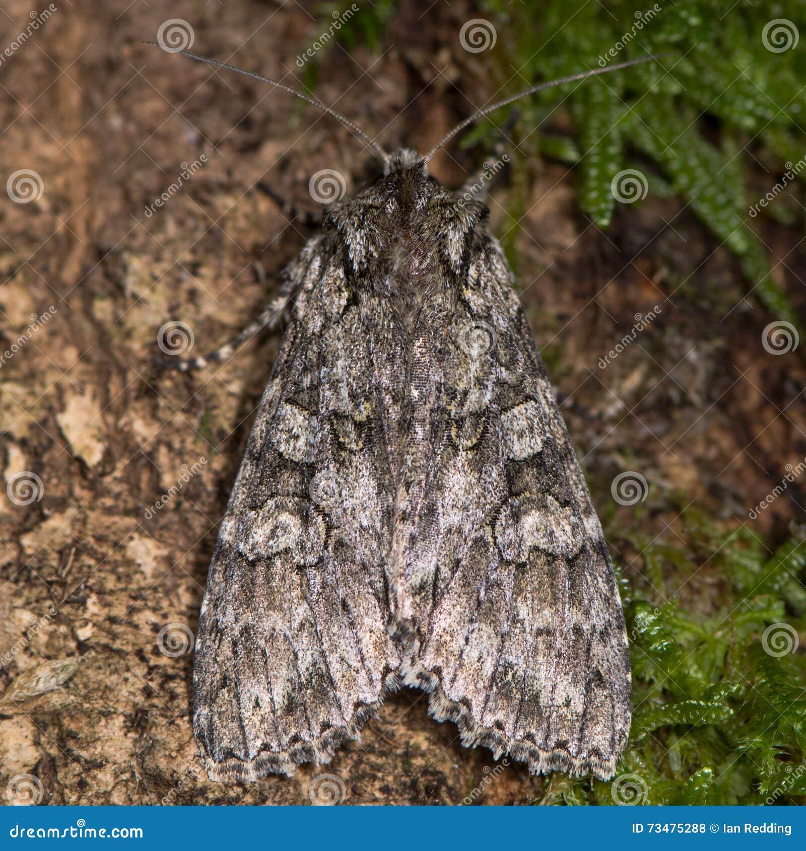 灰色从上面成拱形飞蛾(Polia nebulosa)