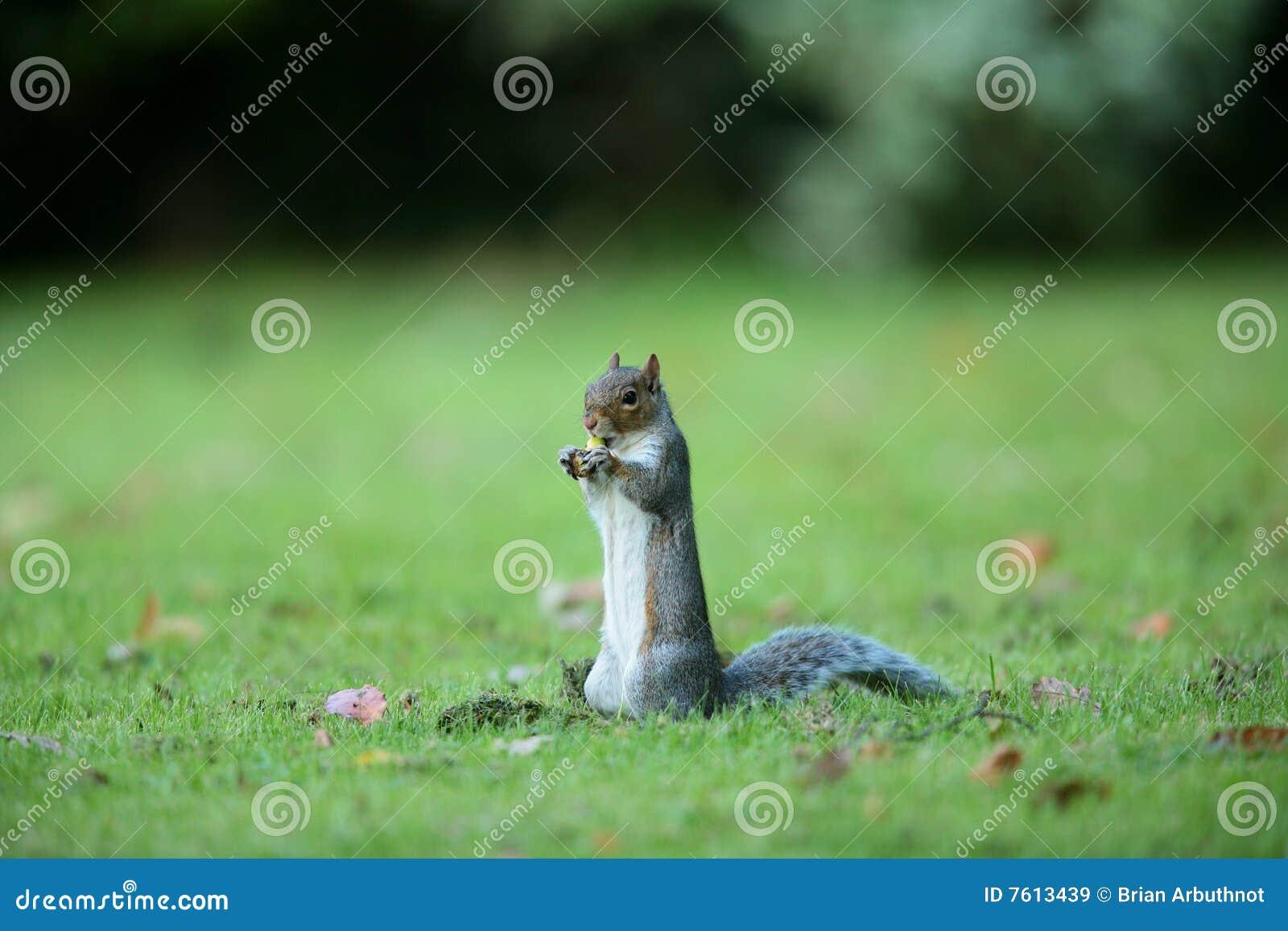 灰色squirell