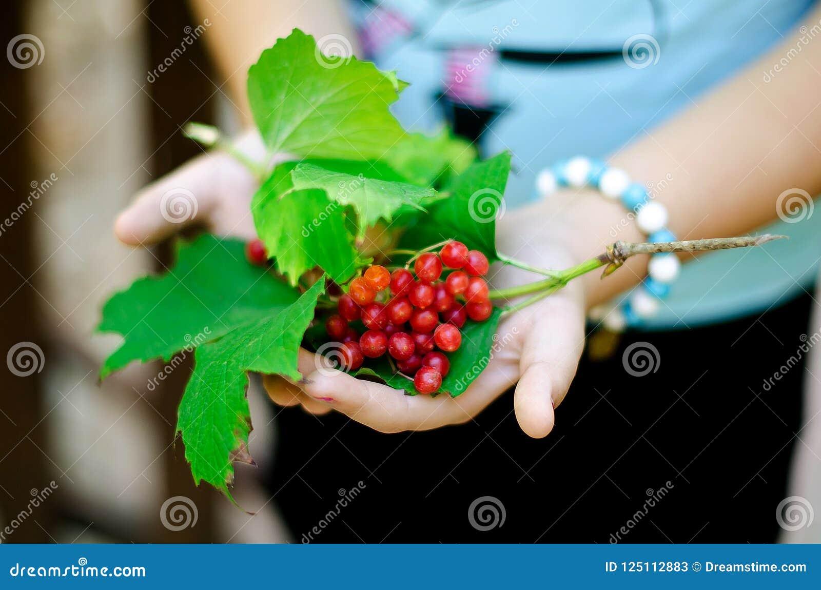 灰莓果在妇女` s手上