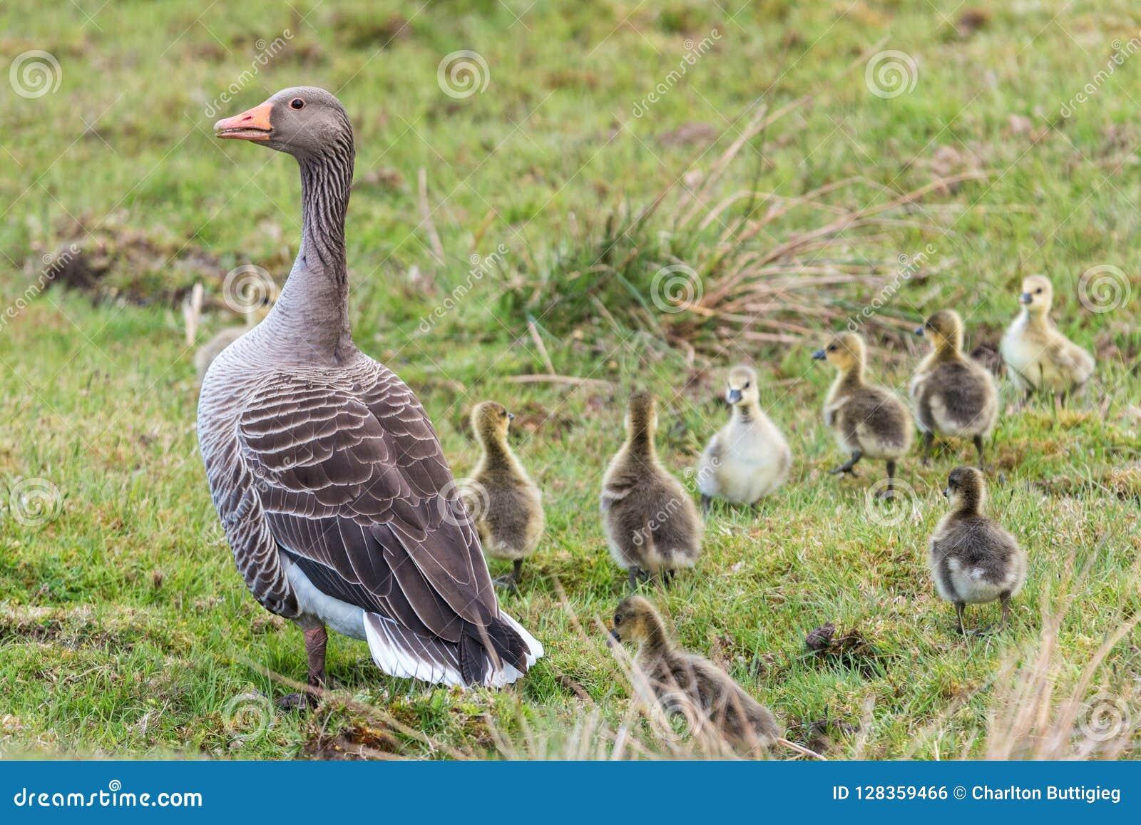 灰雁女性用8只小的鸭子