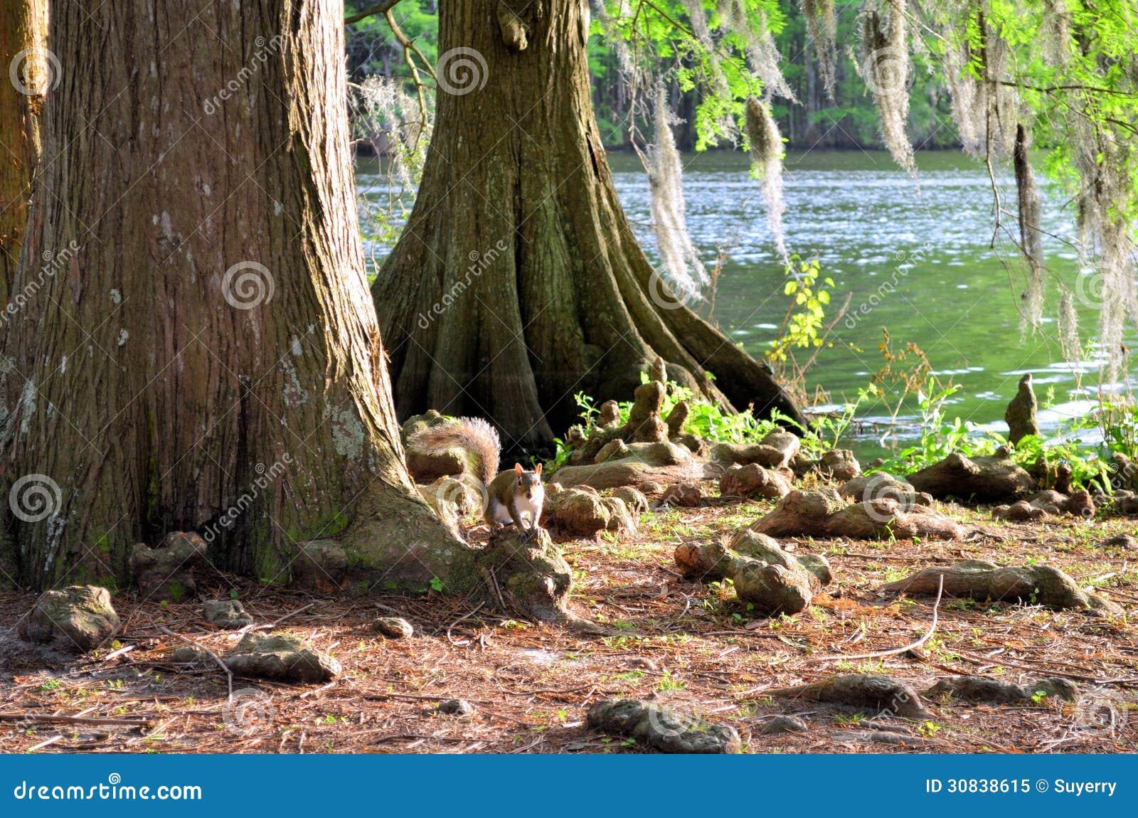 灰鼠松鼠科动物坐柏树膝盖
