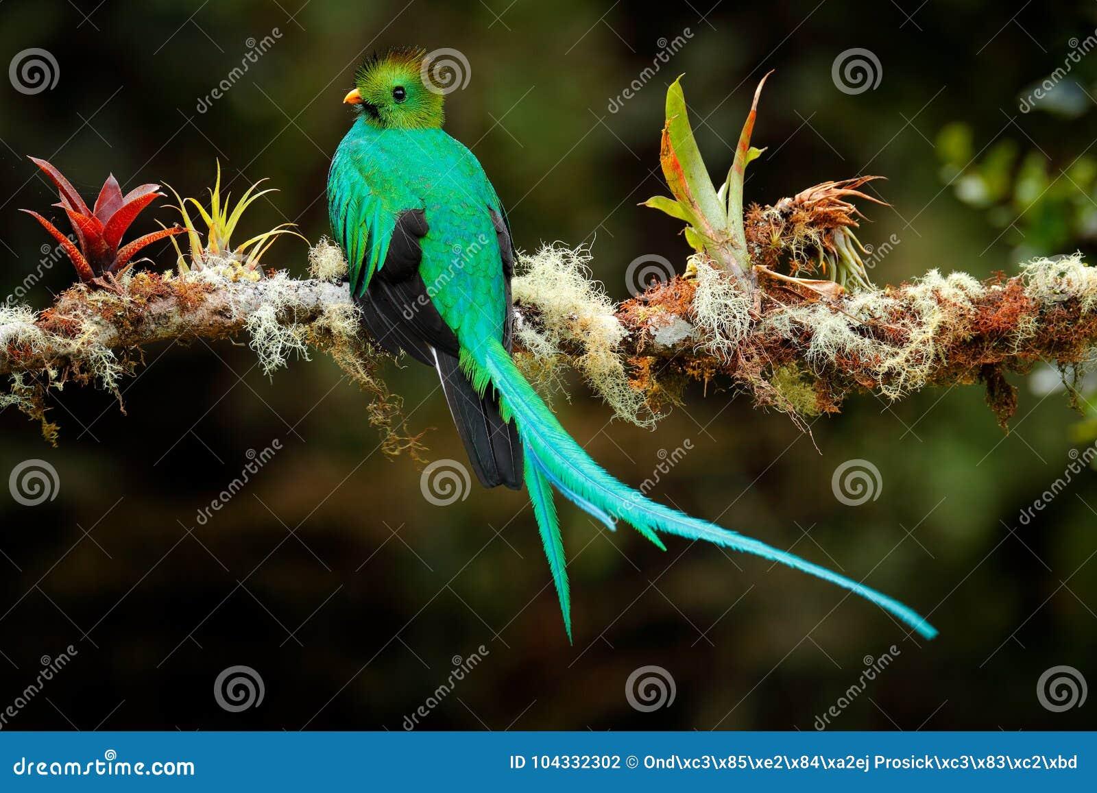 Download 灿烂的格查尔, Pharomachrus Mocinno,从Savegre在有被弄脏的绿色森林前景和背景的哥斯达黎加 Magnifi 库存照片 - 图片 包括有 森林, 薄雾: 104332302