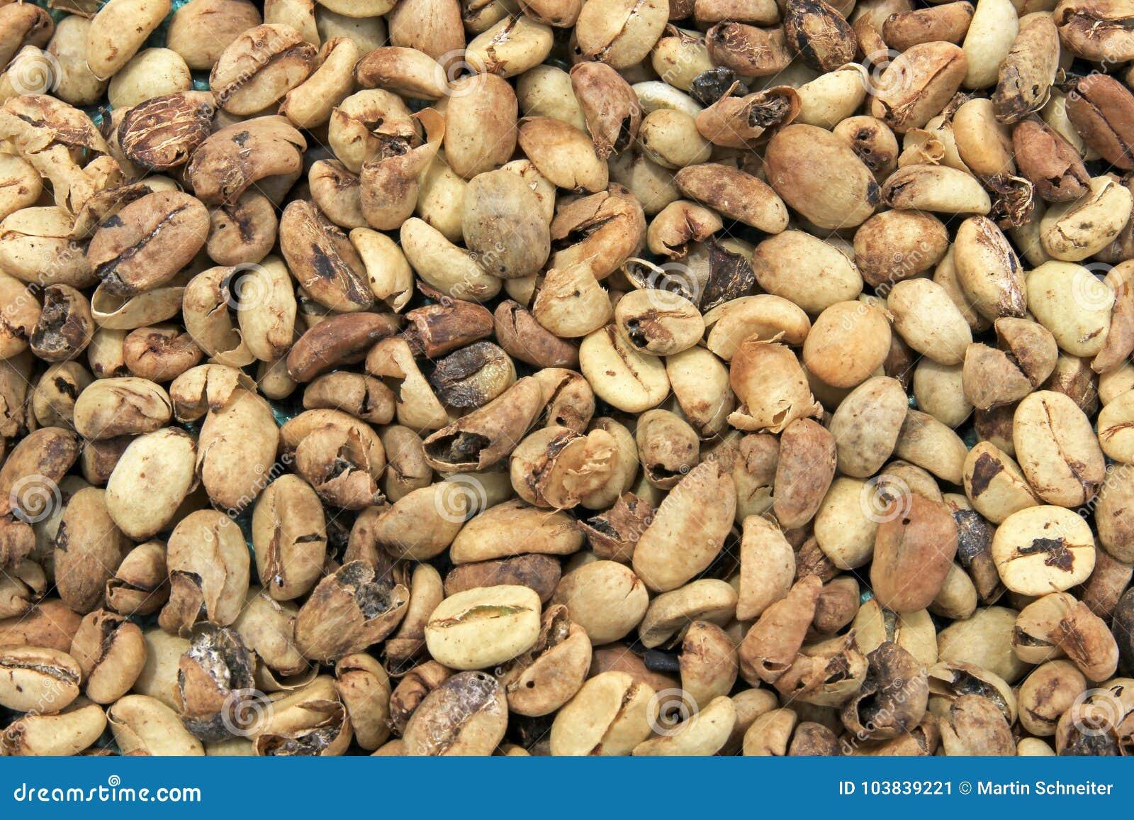 烘干,在El Jardin附近的咖啡豆,安蒂奥基亚省,哥伦比亚