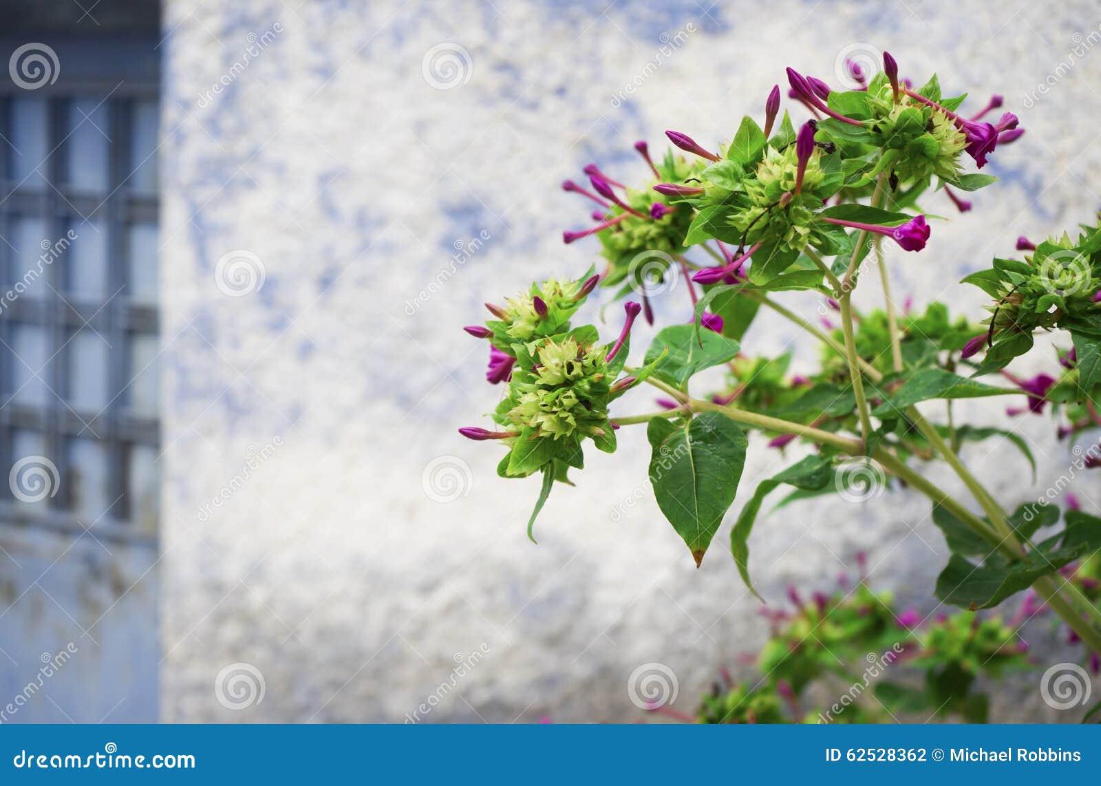 烟草属 装饰烟草植物