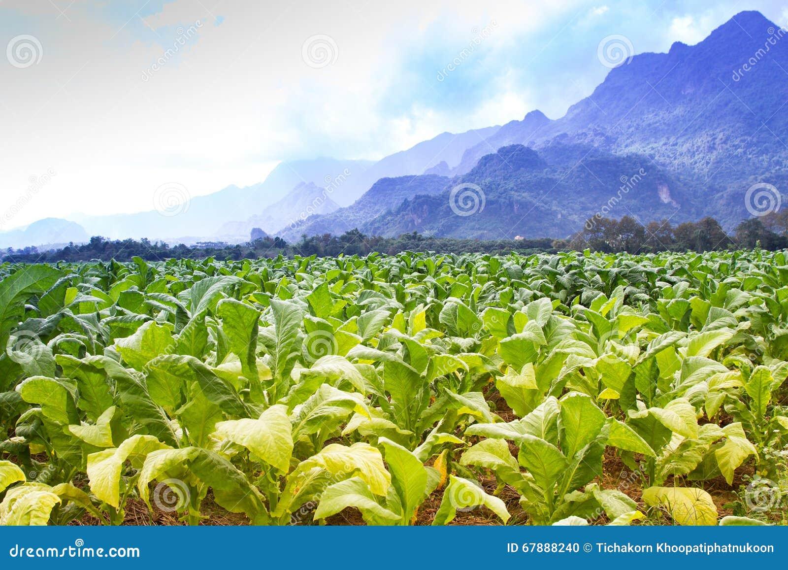 烟草田种植园在蓝天下