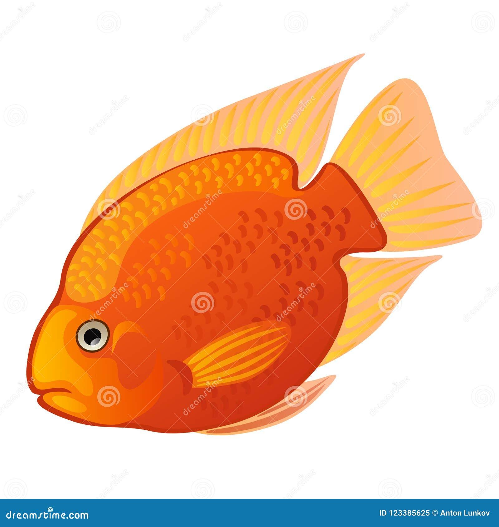 热带动画片鱼在白色背景隔绝的橙色麦得斯丽鱼科鱼或Amphilophus citrinellus 也corel凹道例证向量