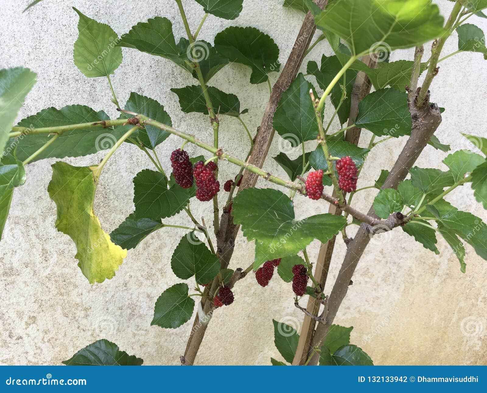 热带红色桑树果子