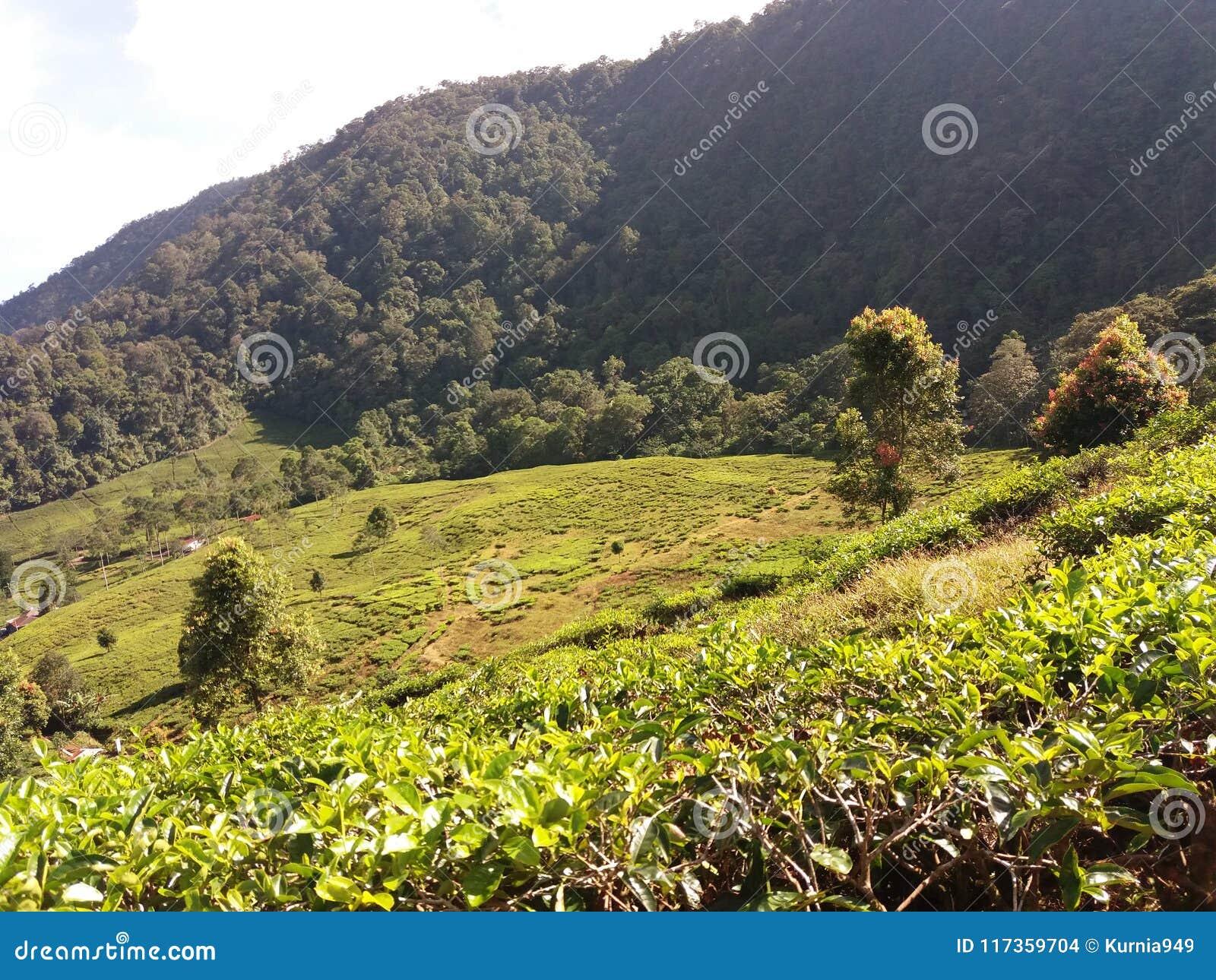 热带茶园在茂物,印度尼西亚