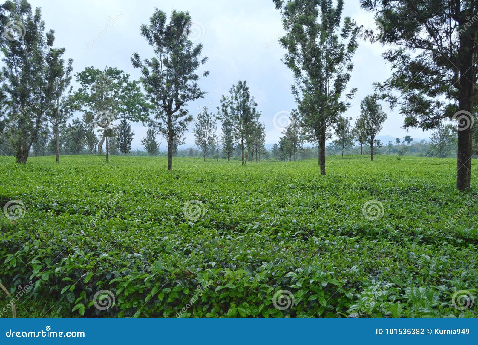 热带茶园在Subang,印度尼西亚