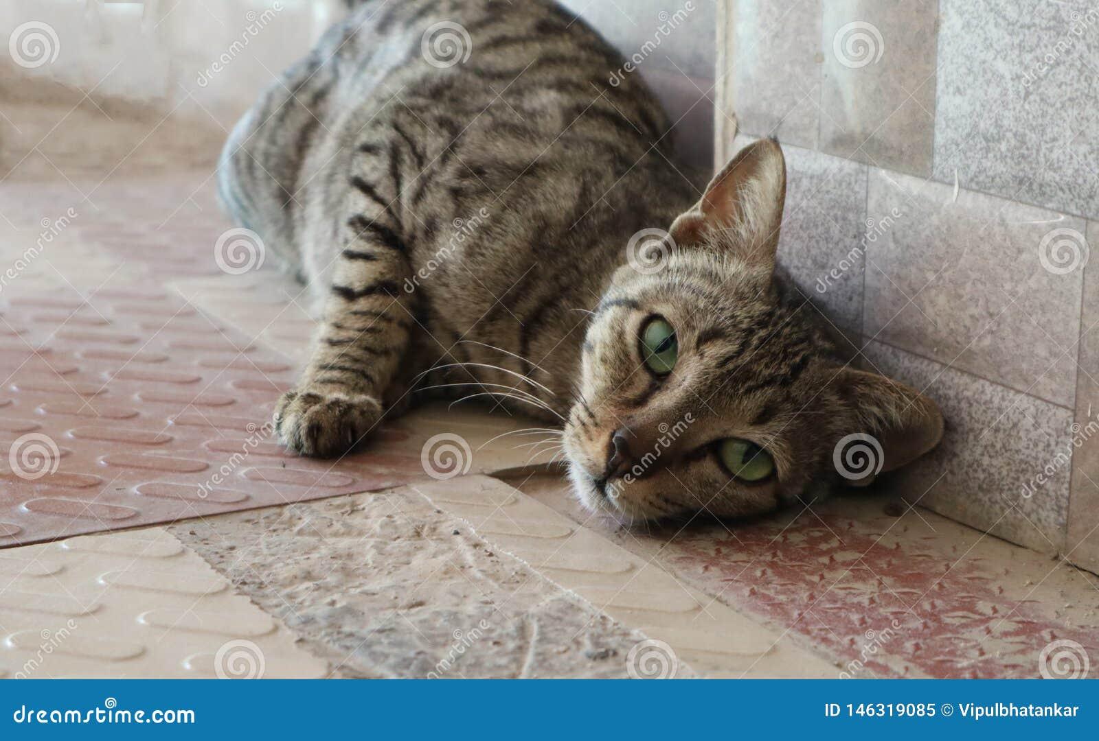 热情地摆在为照相机的大胆的猫