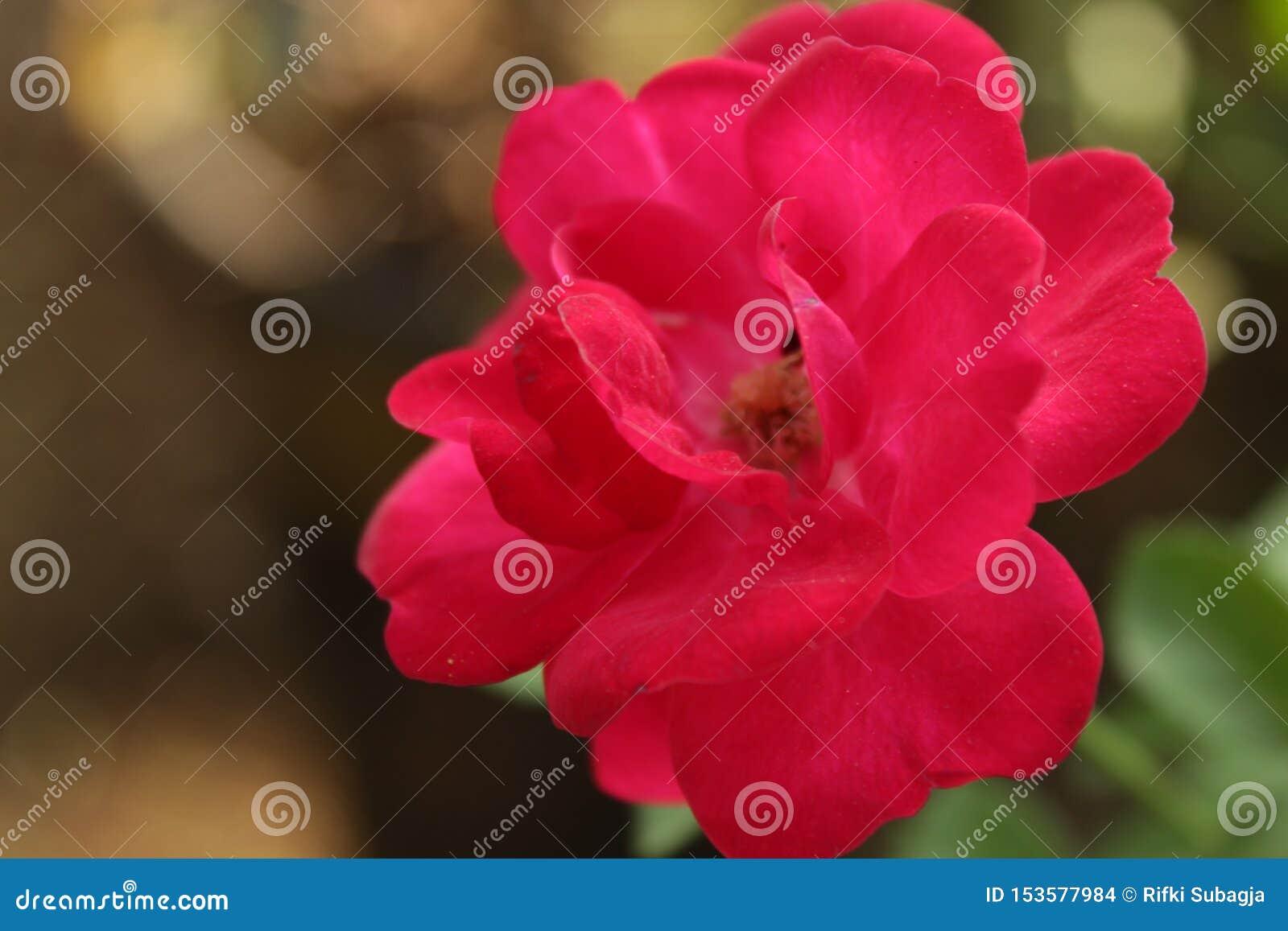 照片的红色玫瑰色花关闭