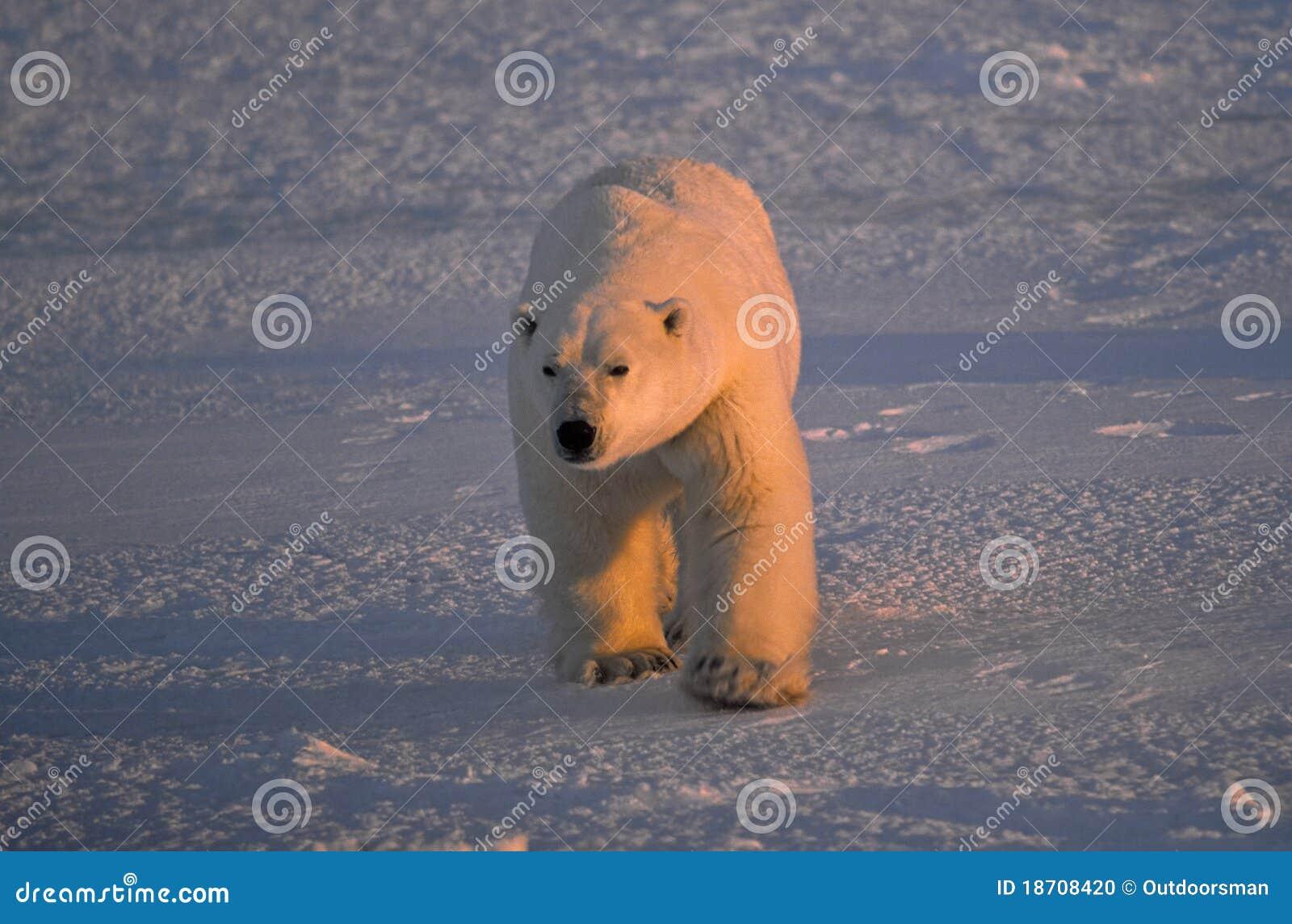 熊大男性极性