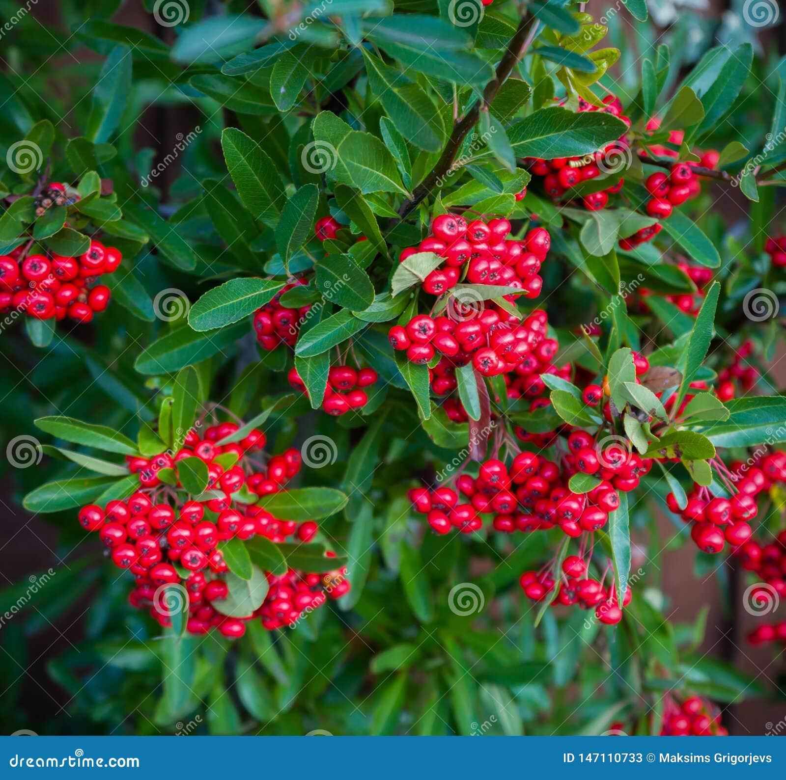 熊果枸子属植物,与绿色叶子的dammeri明亮的红色莓果