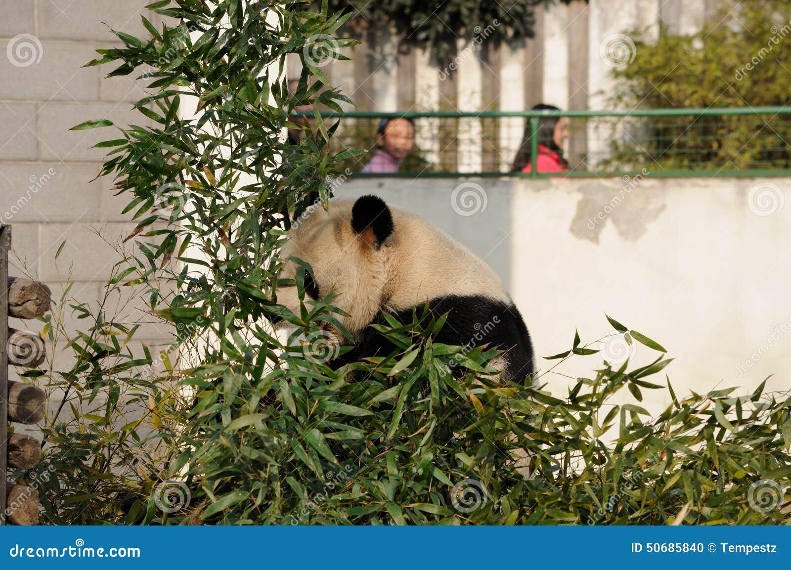 Download 熊猫吃 编辑类图片. 图片 包括有 波儿地克的, 熊猫, 叶子, 查找, 女孩, 敌意, 封入物, 公园 - 50685840