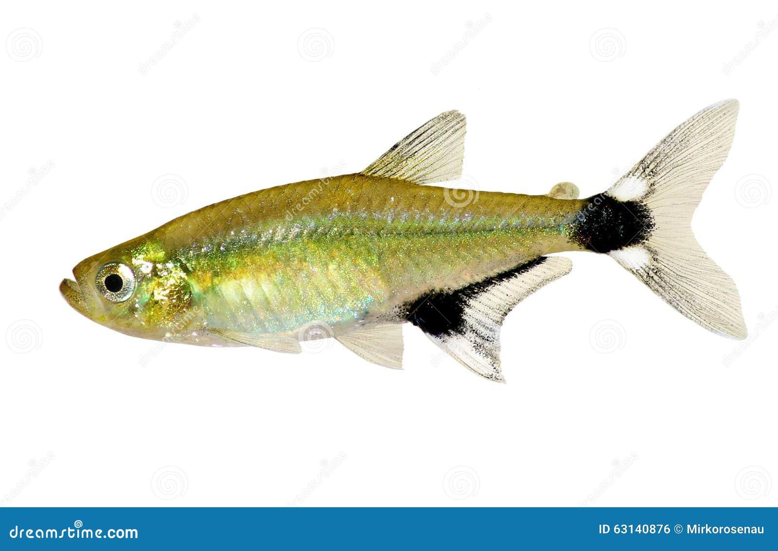 熊猫四黎明四Aphyocharax paraguayensis淡水水族馆鱼