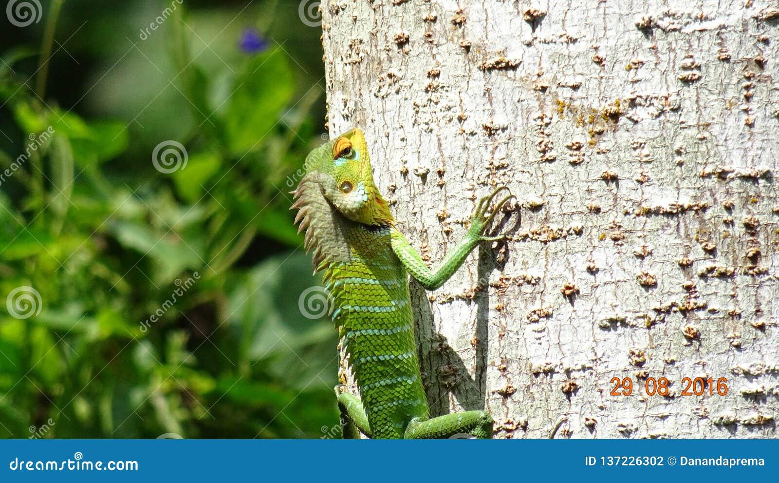爬树的五颜六色的蜥蜴