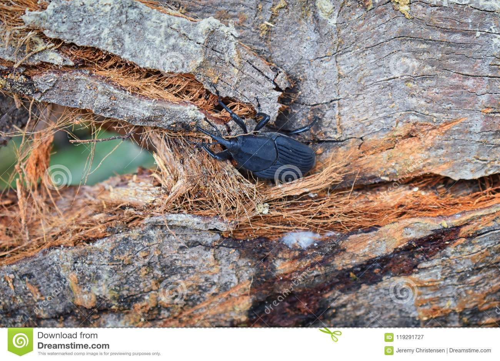 爬行在烂掉注册El伊甸园,巴亚尔塔港在宏指令,详细的看法的密林路的大黑甲虫在墨西哥