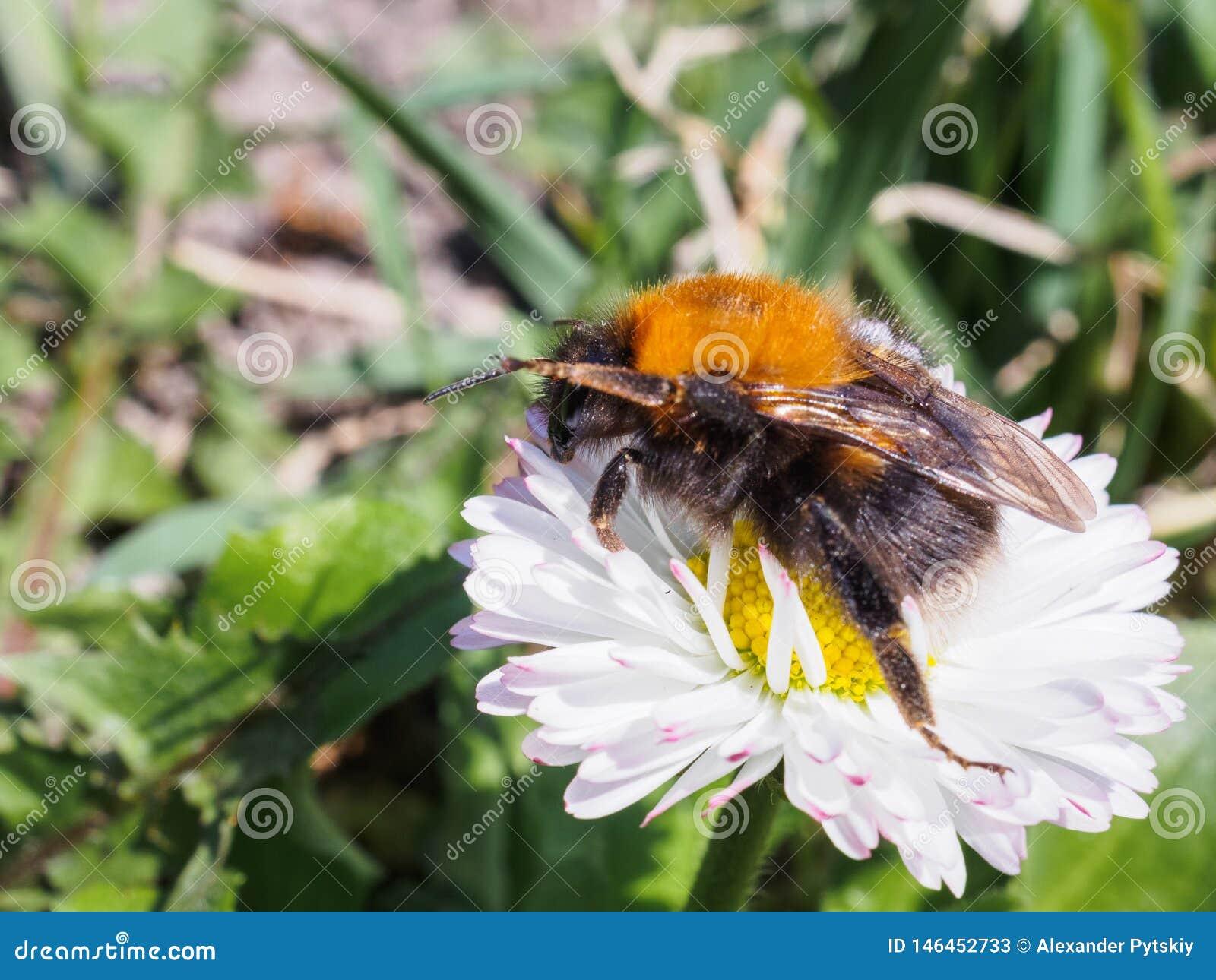爬行在绿色背景的一朵雏菊的大土蜂