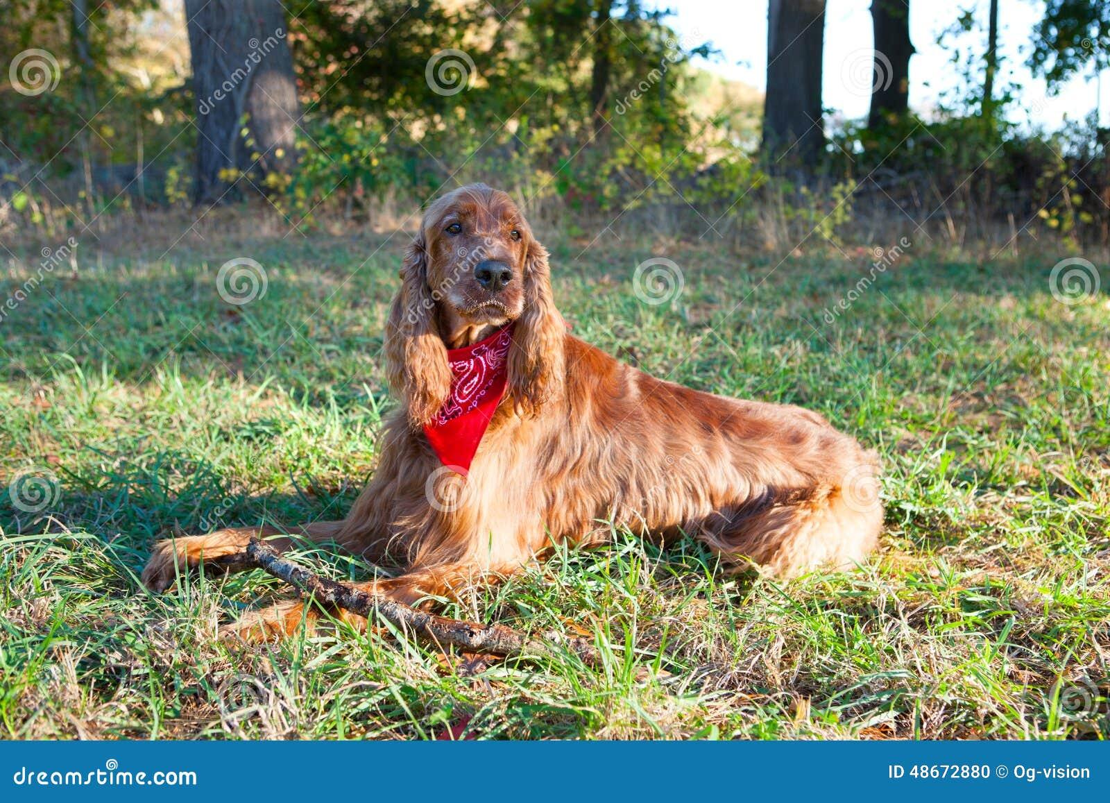 色狗与人弄的直流水_基于草的爱尔兰人的特定装置狗.