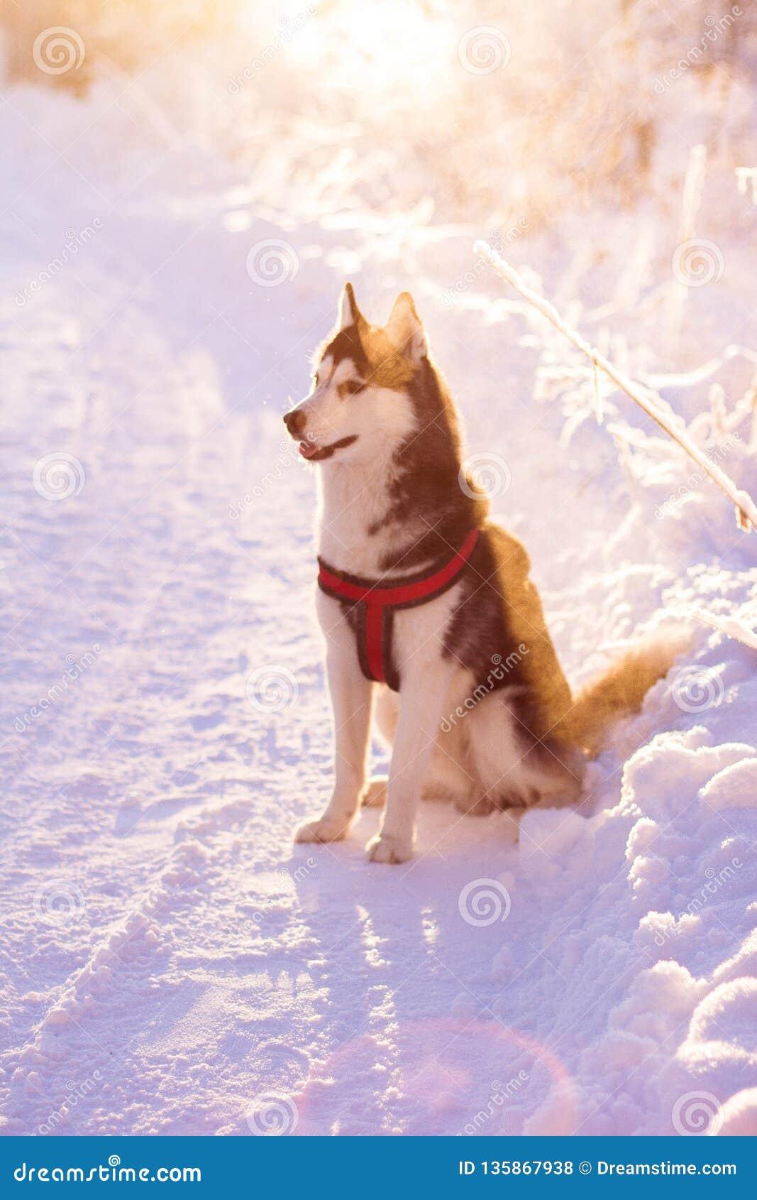 爱斯基摩,冬天,太阳,狗,动物