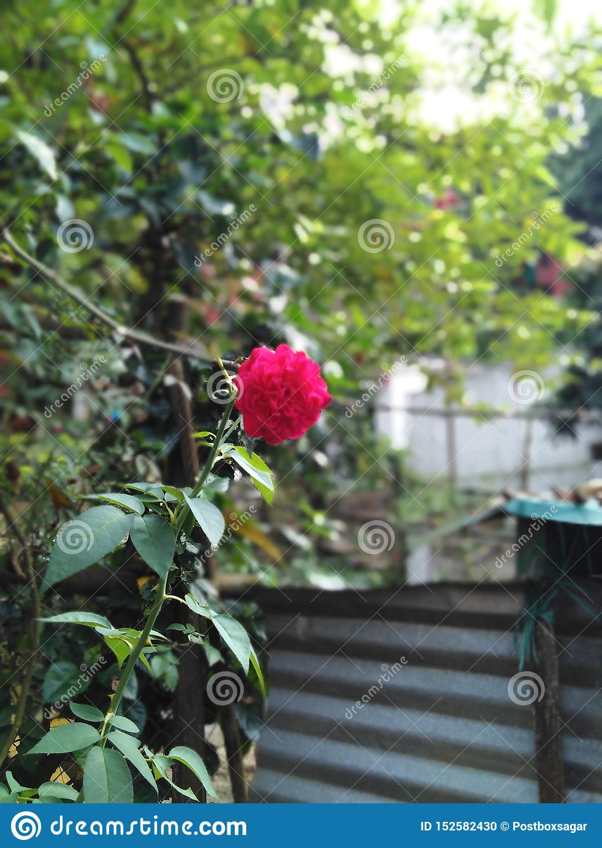爱的红色玫瑰色标志