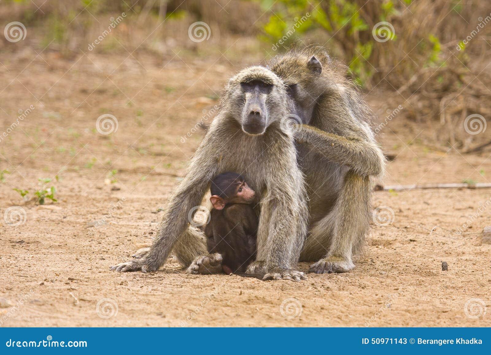狒狒父亲狮子口下勇救幼崽_父亲,母亲和小狒狒,克鲁格,南非
