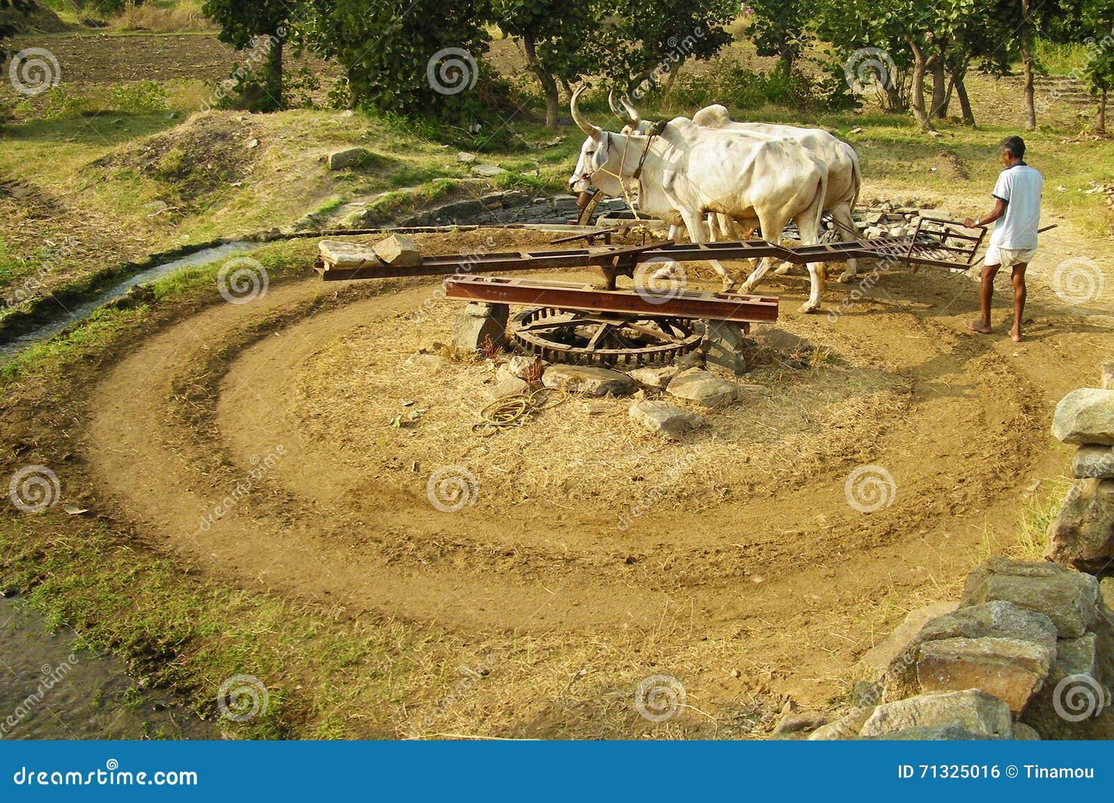 黄牛和人在印度