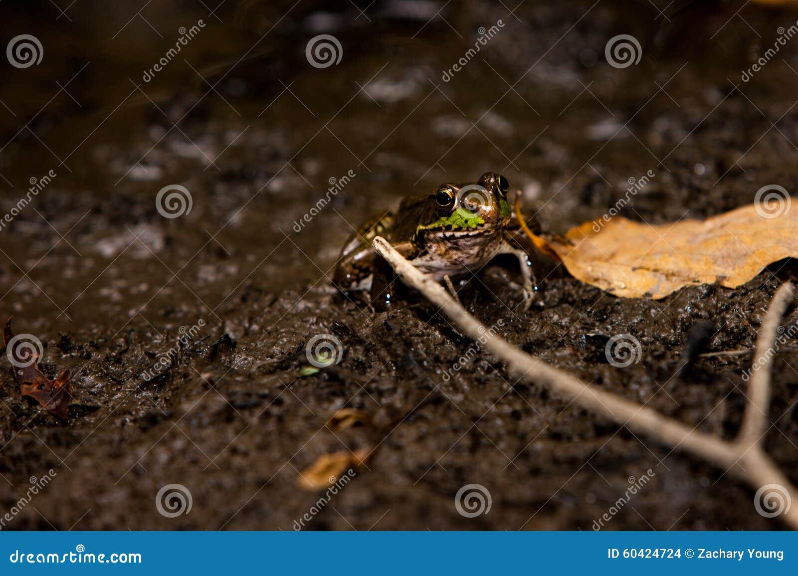 牛蛙在Swomp