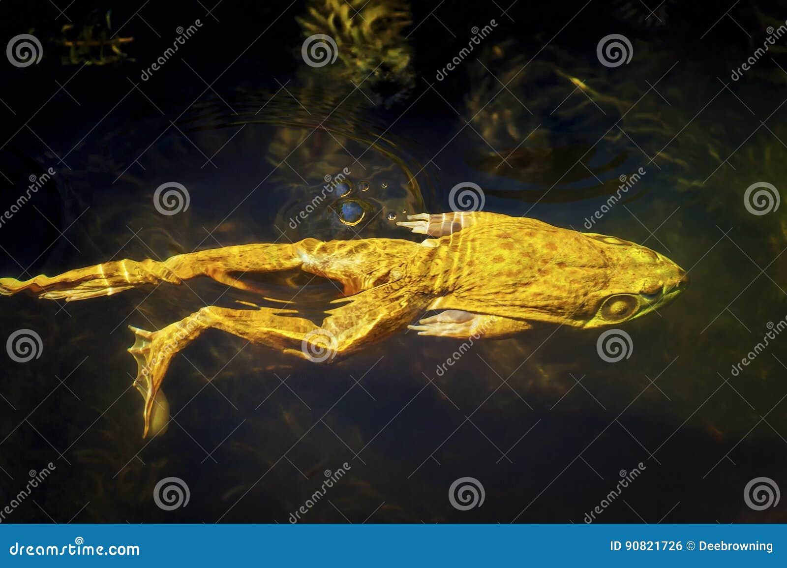 牛蛙游泳在池塘