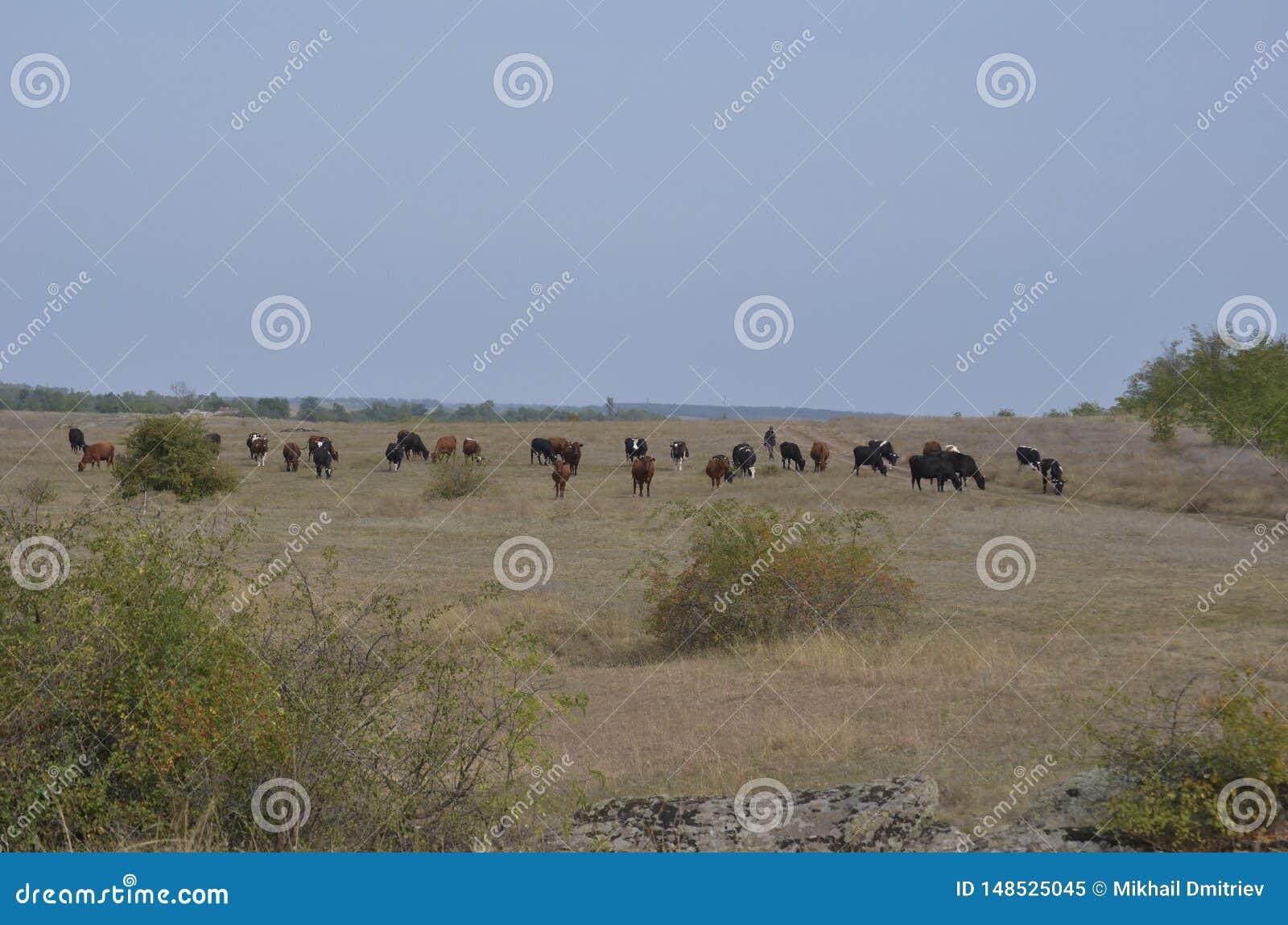 牧羊人带领母牛牧群横跨一个晴朗的乌克兰领域的