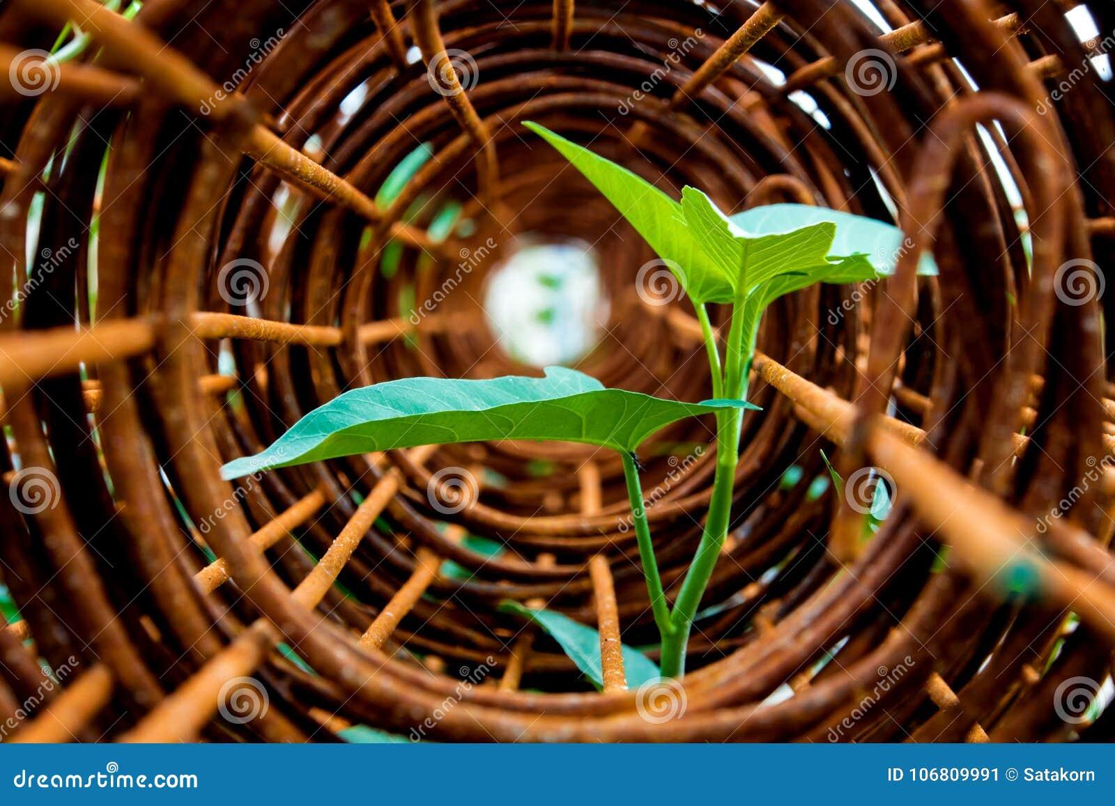 牵牛花插入物叶子在生锈的钢绳滤网卷的