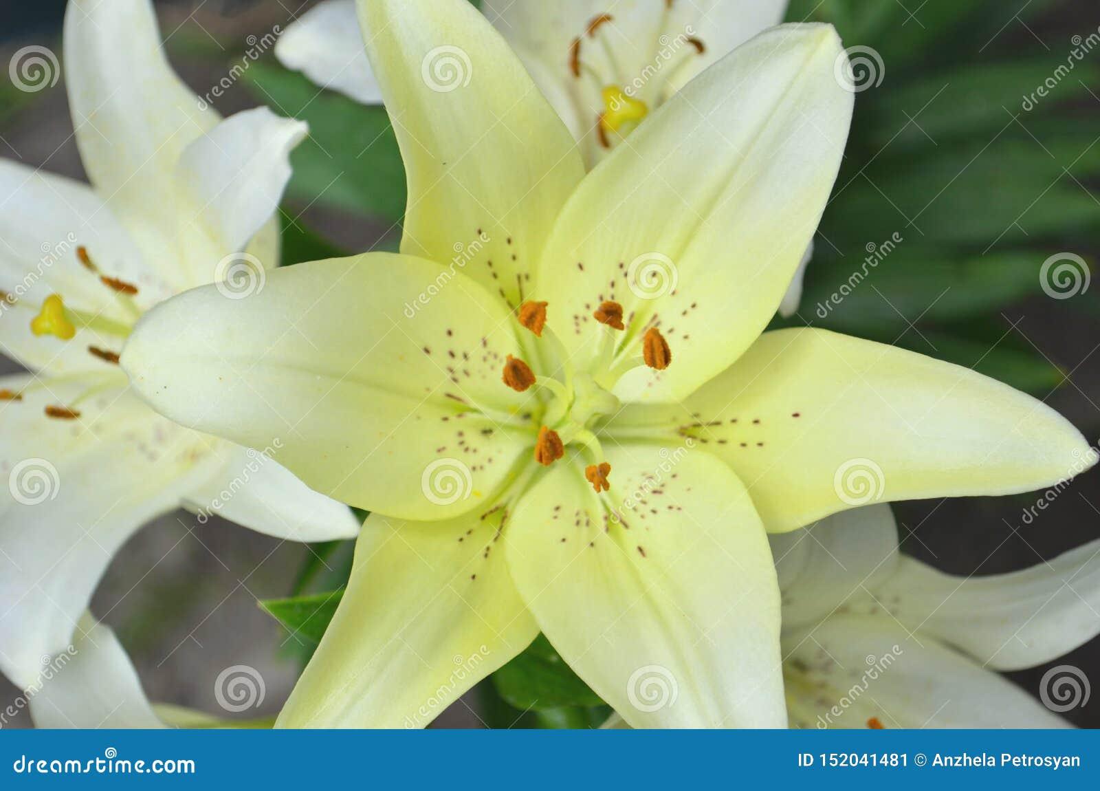 特写镜头橙红黄色白百合花在庭院里