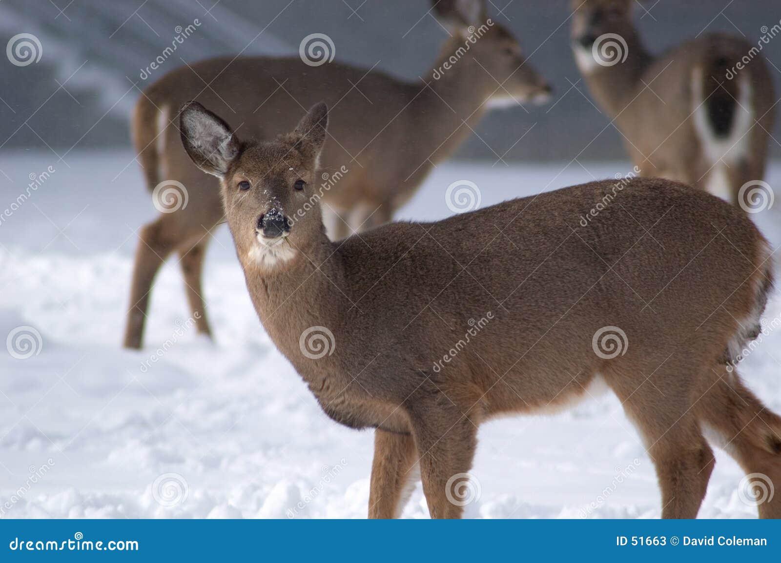 特写镜头母鹿