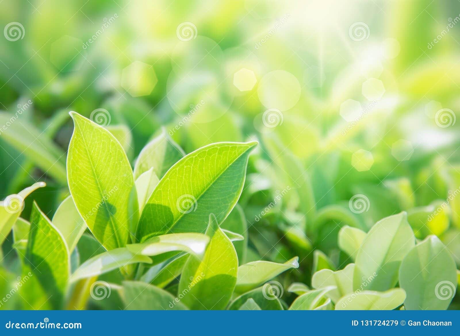 特写镜头绿色叶子自然视图在被弄脏的绿叶背景的在有拷贝空间的庭院里使用作为背景