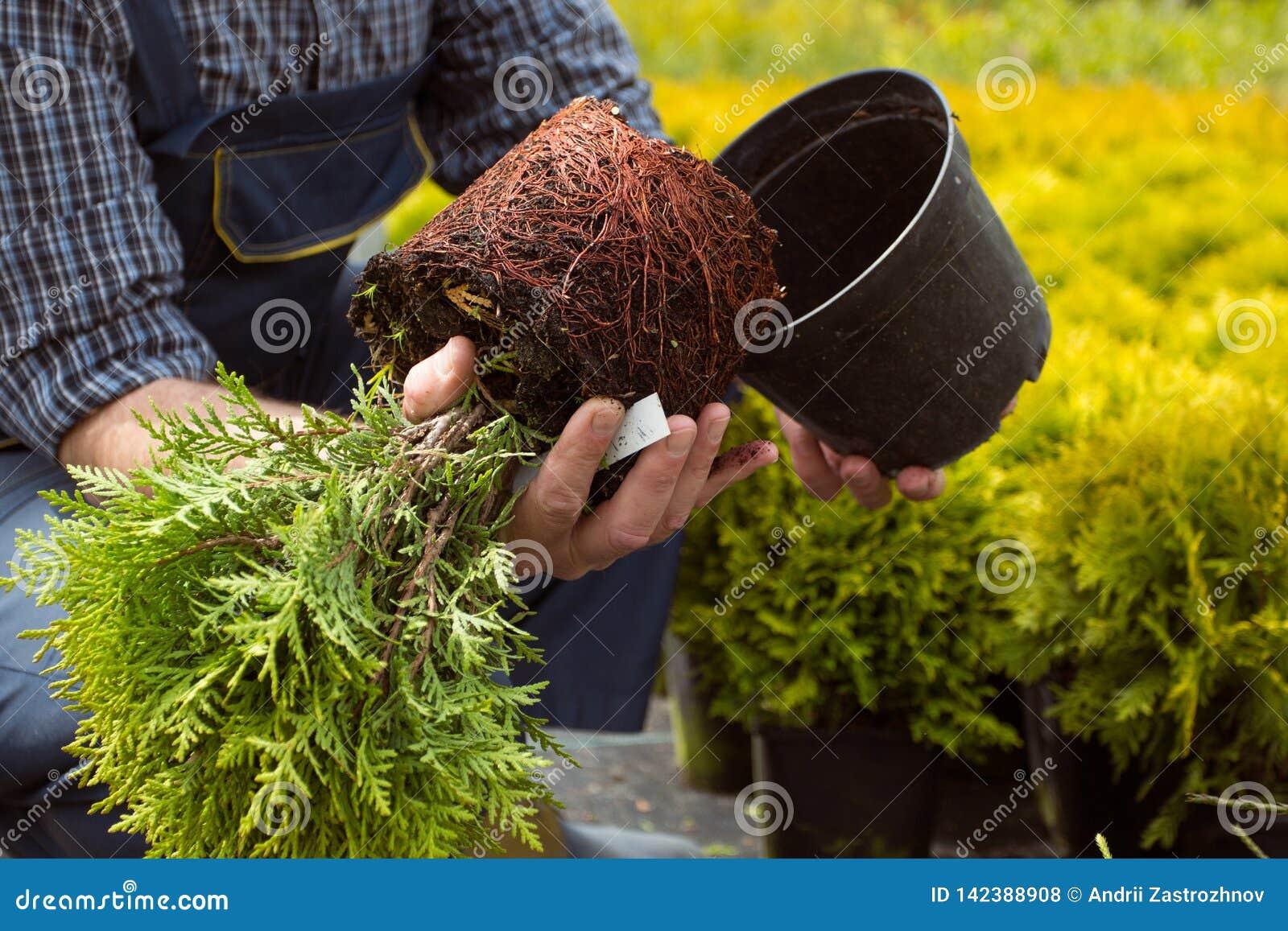 特写镜头 小幼木根系统在庭院市场上