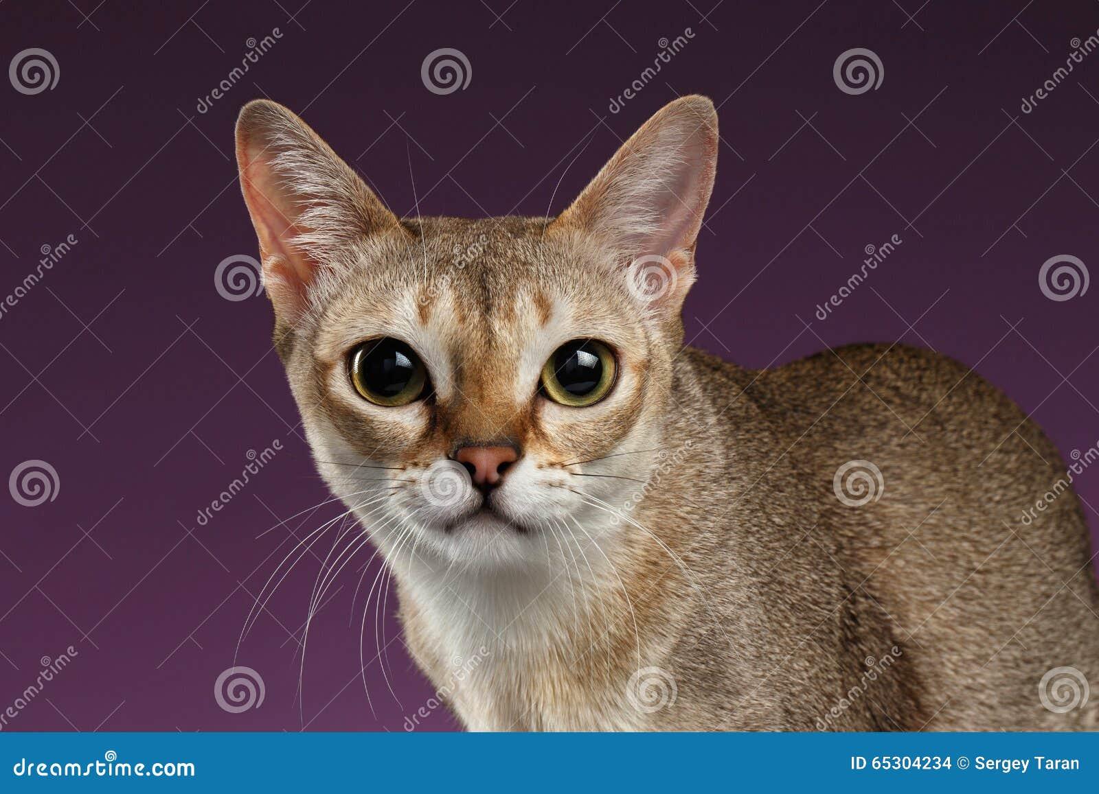 特写镜头看在紫色的照相机的Singapura猫
