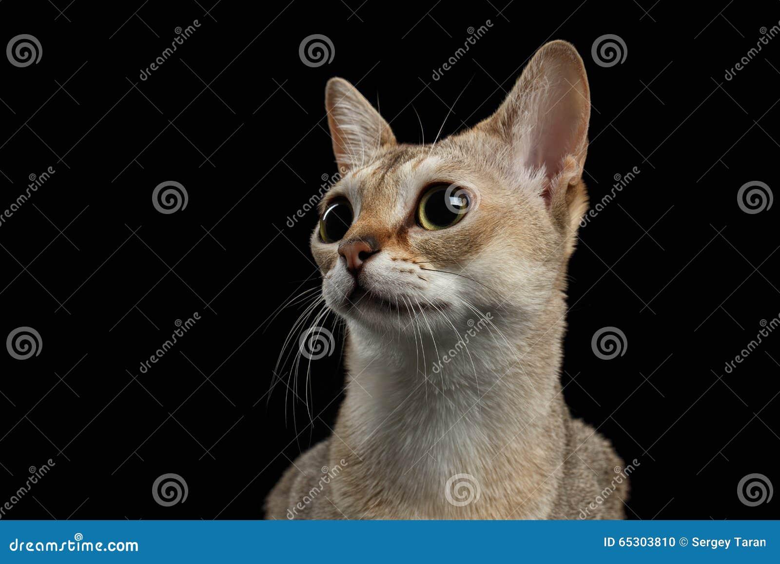 特写镜头看起来Singapura的猫有趣在黑色