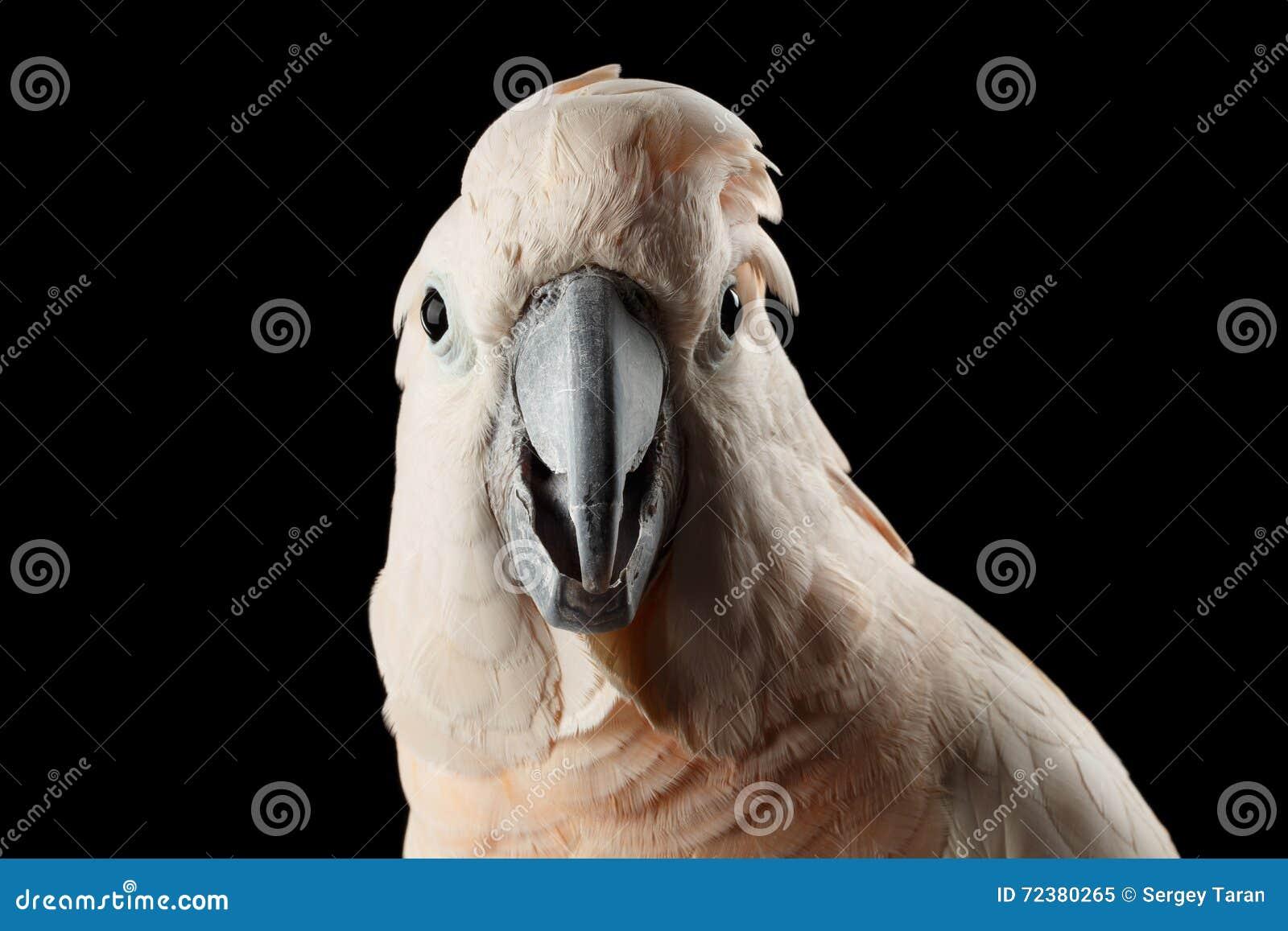 特写镜头滑稽的摩罗加群岛的美冠鹦鹉,三文鱼有顶饰鹦鹉惊奇的神色,被隔绝的黑色