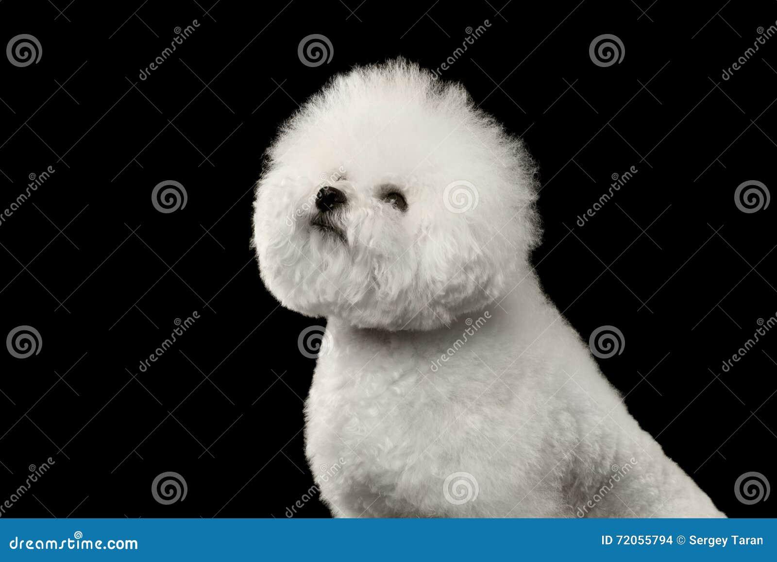特写镜头纯血统白色Bichon Frise狗,骄傲地,隔绝在黑色