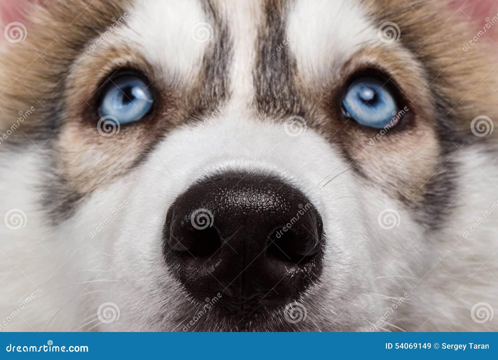与鼻子西伯利亚爱斯基摩人小狗的特写镜头蓝眼睛.图片