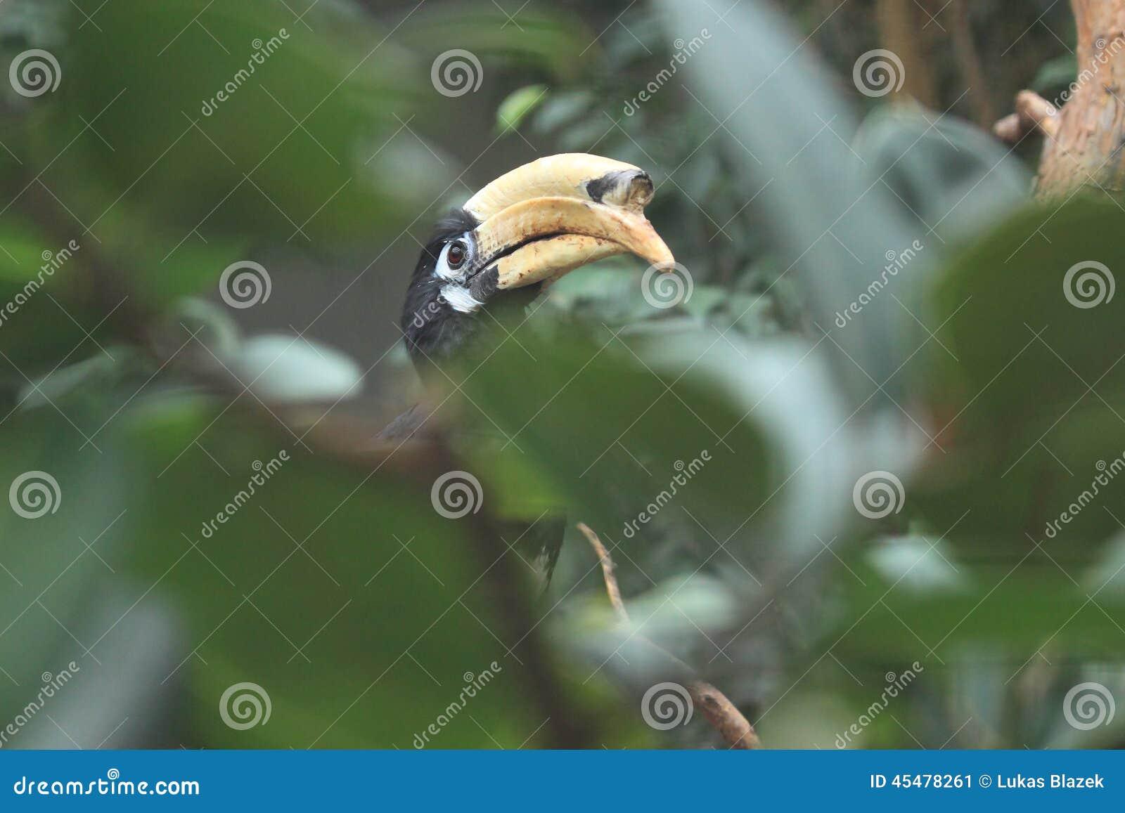 犀鸟东方染色