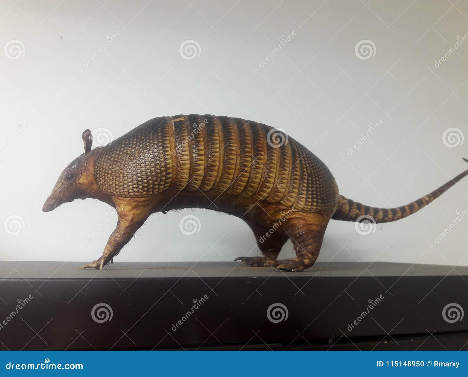 犰狳犰狳是新的世界胎盘哺乳动物