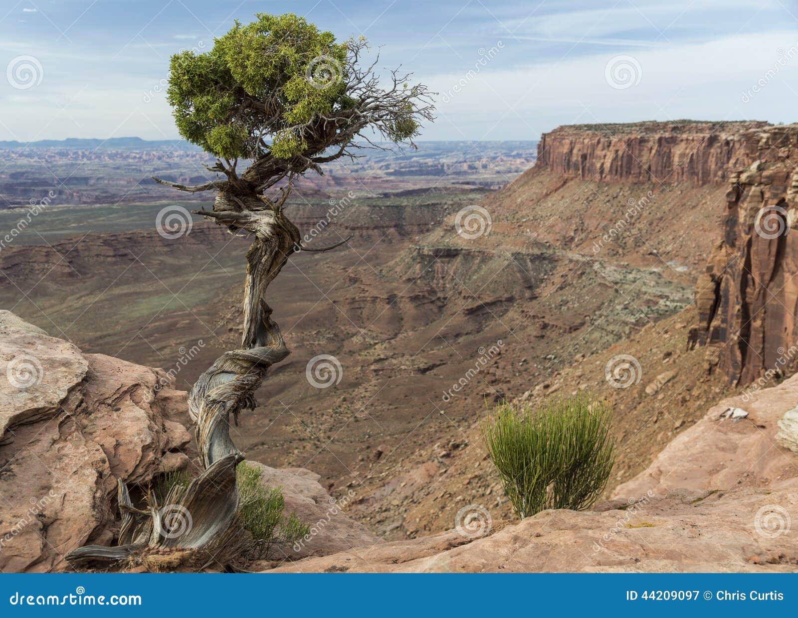 犹他杜松树和峡谷在Canyonlands在犹他