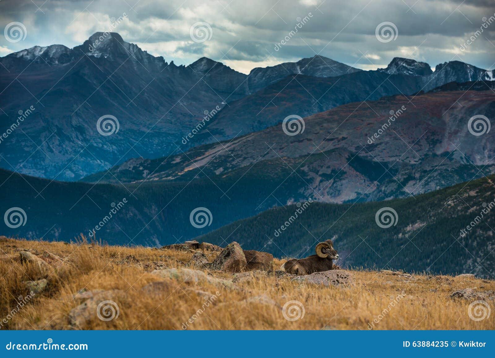 狂放的大角野绵羊羊属canadensis落矶山脉科罗拉多