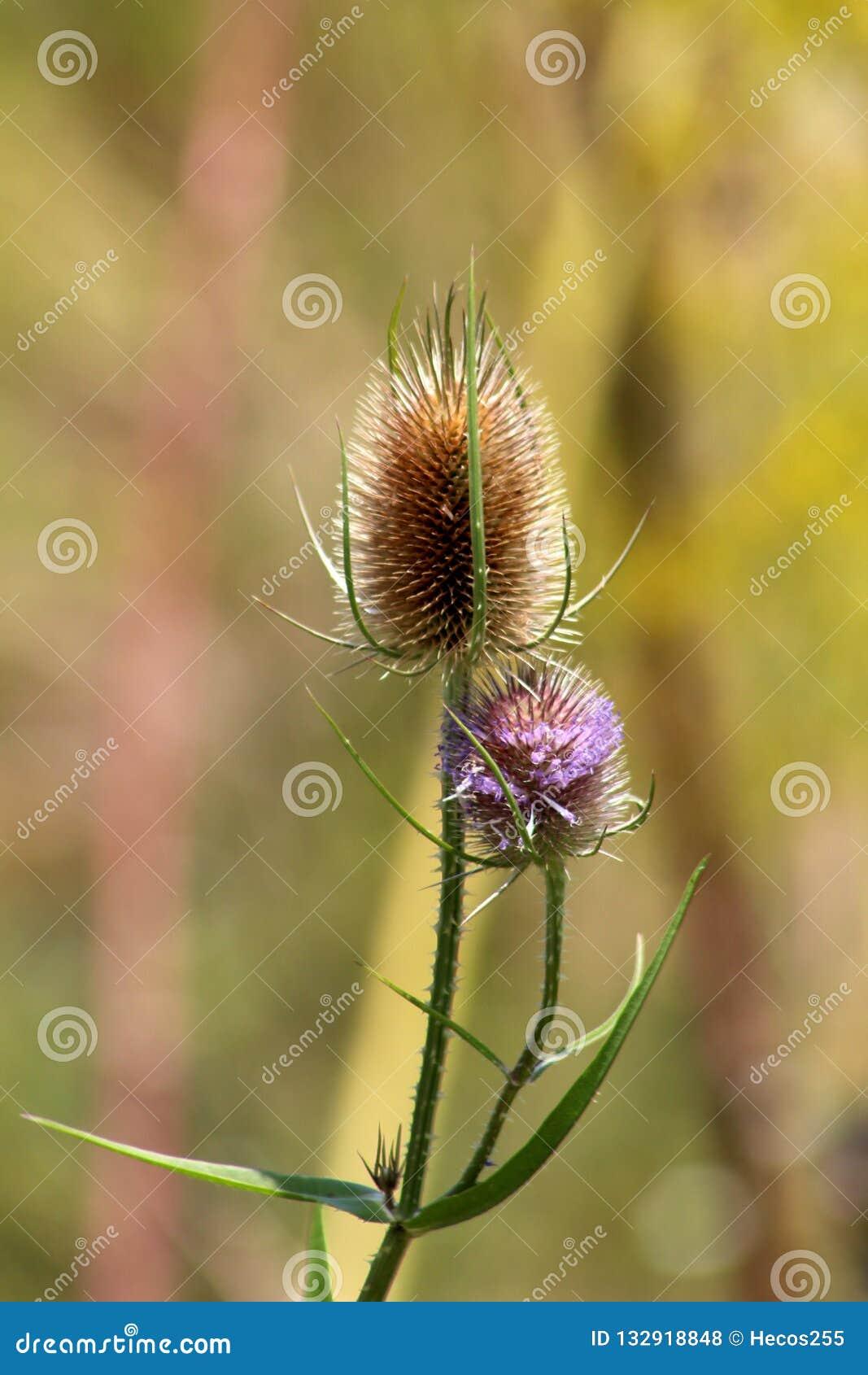 狂放的有多刺的词根和笔直棕色蛋形头状花序的起毛机或川续断属fullonum植物部分填满与小