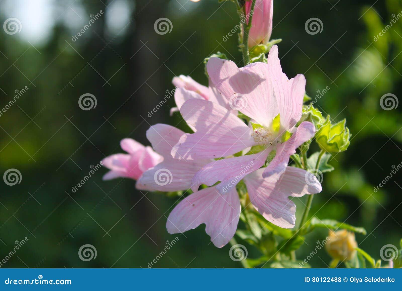 狂放的桃红色冬葵