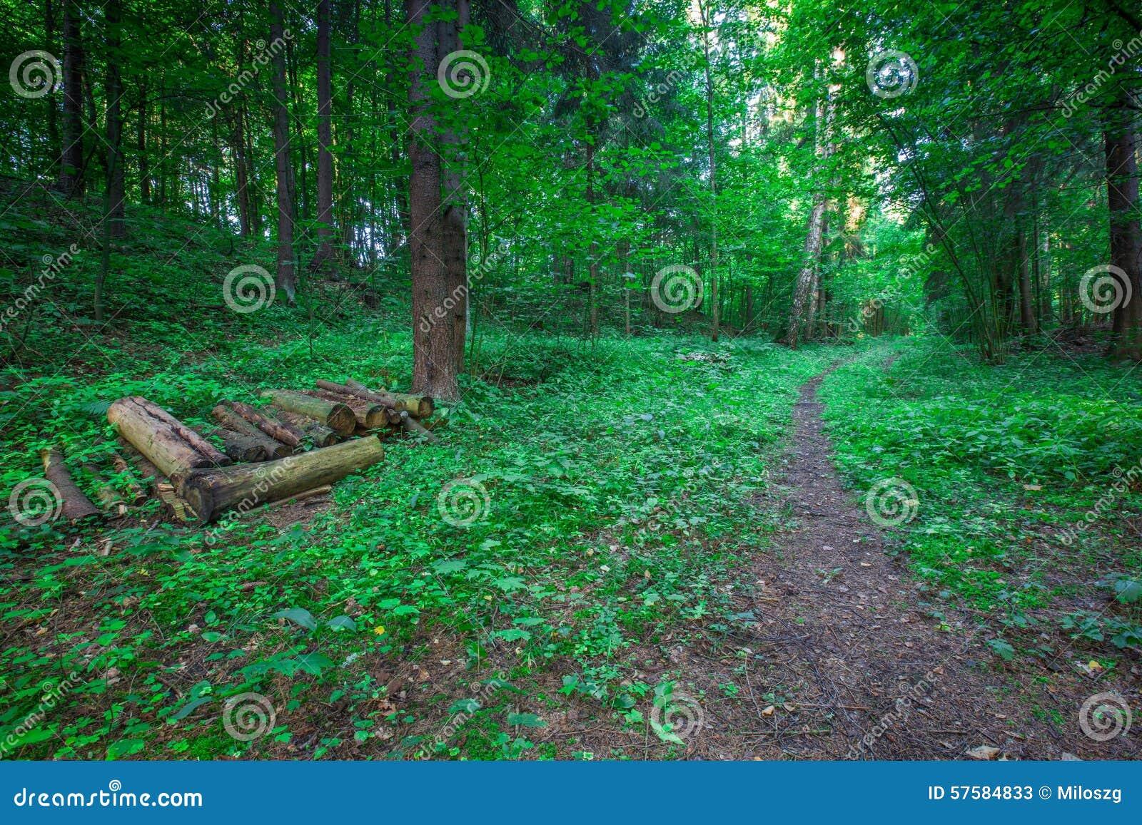 阳光在落叶林,夏天自然里 狂放的森林晴朗的树在波兰 森林背景.图片