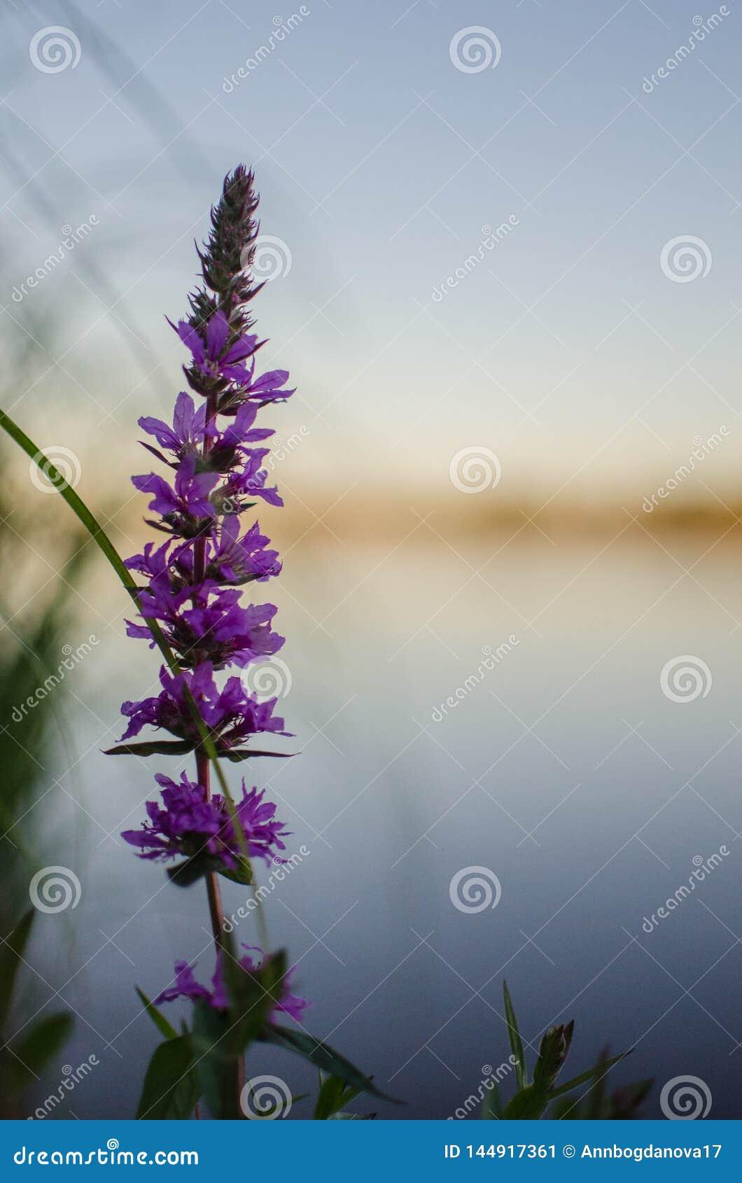 狂放的淡紫色由河增长