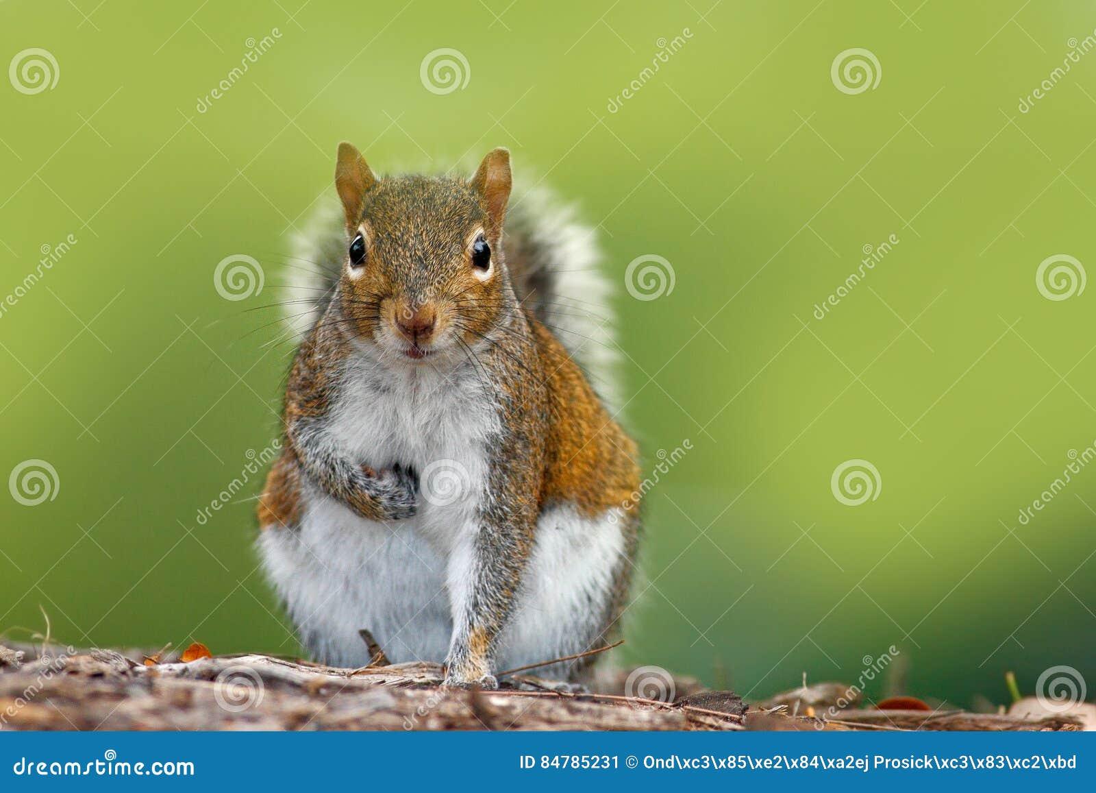 从狂放的自然的滑稽的图象 灰色灰鼠,中型松鼠carolinensis,在森林地面的逗人喜爱的动物,佛罗里达,美国 灰鼠sittin