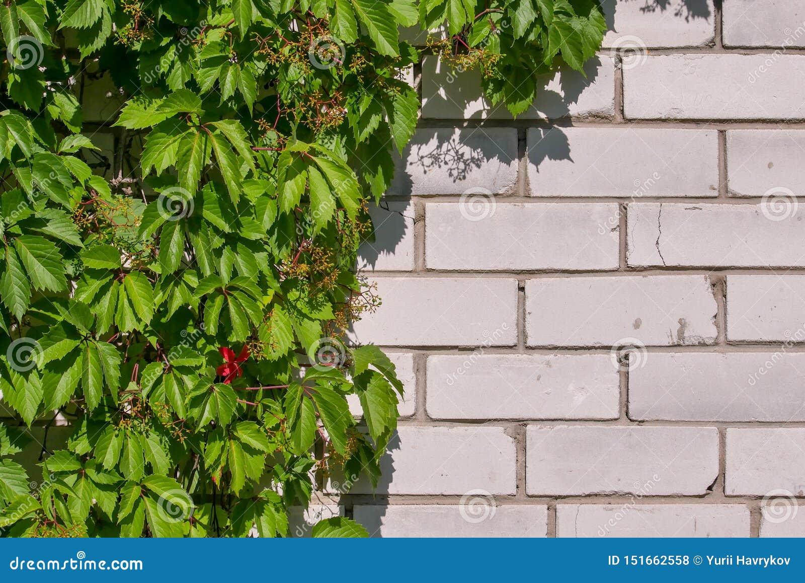 狂放的葡萄丛林在一个白色砖墙上的 绿色叶子自然本底  r